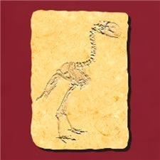Gastornis Fossil