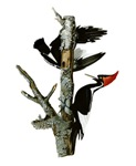 Ivory-billed Woodpeckers
