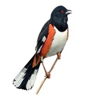 Eastern Towhee