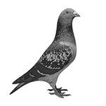 vintage pigeon