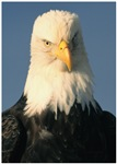 Judgment Bald Eagle