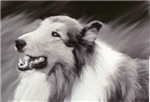 B&W Laughing Collie