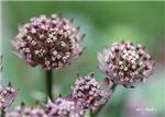 Astrantia Hidden Jewel, Garden Glee