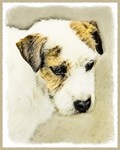 Jack Russell Terrier - Multiple Illustrations