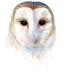mysterious barn owl