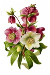 Purple and White Hellebores