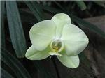 .phalenopsis.