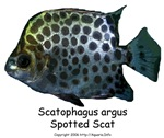 Scatophagus argus