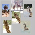 Giraffe Photo Gifts