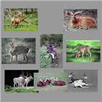 Antelope/Deer Photo Gifts