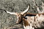 Spotted Watusi Bull