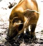 Pig Profile 1966