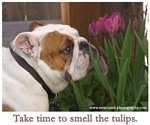 Smell the Tulips