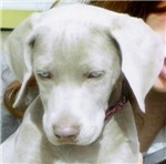 Dog-Weimaraner