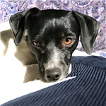 Mackey the Rat Terrier Mix