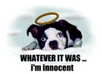 WHATEVER IT WAS IM INOCENT (BOSTON TERRIER WITH HA