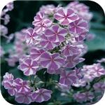 Phlox Lilac Stripe