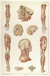 Laskowski Anatomie