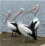Three Gorgeous Pelicans