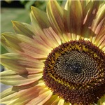 Beautiful Day Sunflower