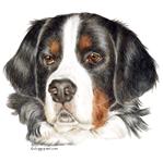 Colored Pencil Bernese Mountain dog