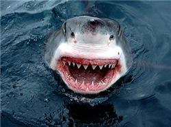 Sharks Showing Teeth