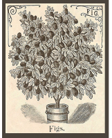 Etching of a Fig Plant