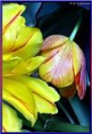 Tulips, photography