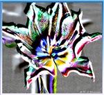 Tulip, digital phoo art