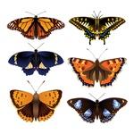 Butterfly - Butterflies