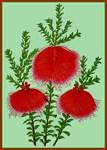 Hairy Bell Flower Vintage Print