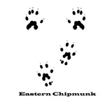 Eastern Chipmunk Tracks Pawprints