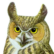 Fuertes' Great Horned Owl