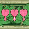 Bleeding Heart - Dicentra Spectabilis