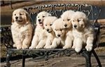The Six Puppies Collection