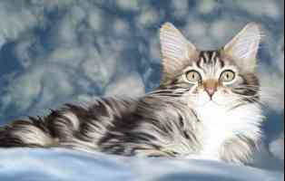 Maine Coon Cat in the Clouds