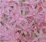 Pink Sedum Blossom