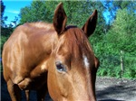 Lucy (QH Mare)