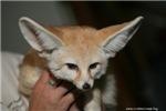 Flash the fennec fox