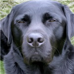 Black Labrador Retriever Dog Breed Photo Painting Prints, Cards, Trays, Buttons, Stickers, Magnets, and more!