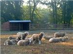 Yearling Horned Dorsets at Barn