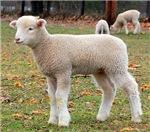 Horned Ewe Lamb Profile