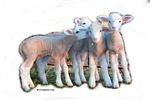 Color Lamb Group~Ewephoric!