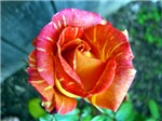 Wheat Orange Rose