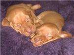 Cute Vizsla Puppies