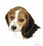 Lovely Beagle
