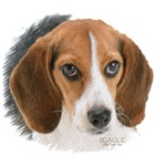 Beagle Close Up