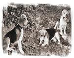 Hunter Beagles