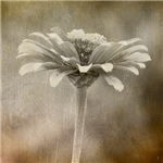 A Single Bloom Browntone