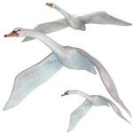 Swans (no moon)